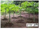 Farming of highbreed 'OL' by KRISHAK BANDHU, an NGO of Simdega
